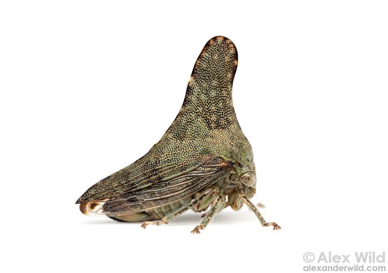 Glossonotus acuminatus
