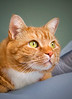 Orange colored tabby cat laying on a bed. Photography fine art photo prints print photos photograph photographs image images artwork.