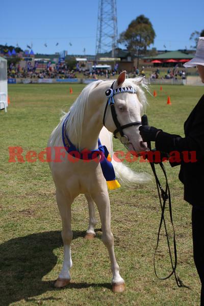 2009 09 30 Perth Royal Show Cremello & Perlino