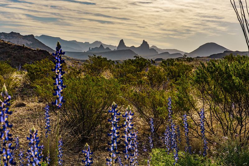 Mules Ears and Bluebonnets 3.jpg