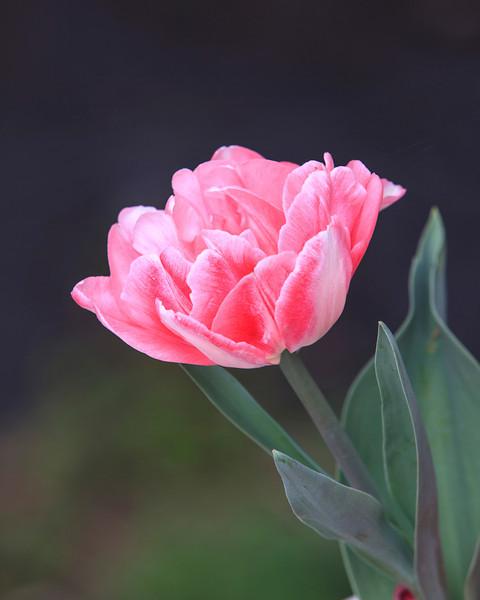 Napa and Tulips