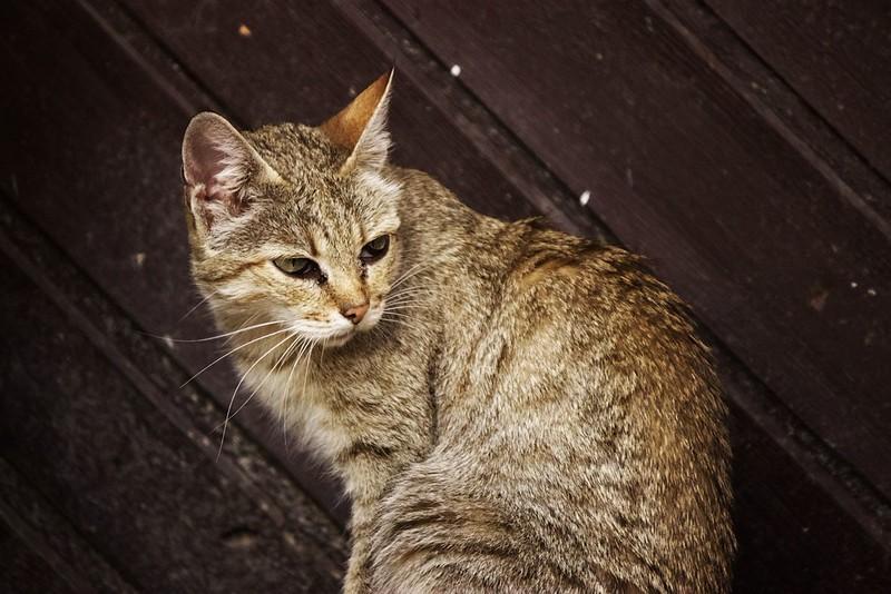 Kočka egyptská, pokud si správně pamatuju