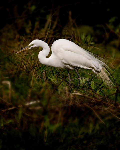 The egrets were just as actively looking for food as for branches.  This one was fishing.