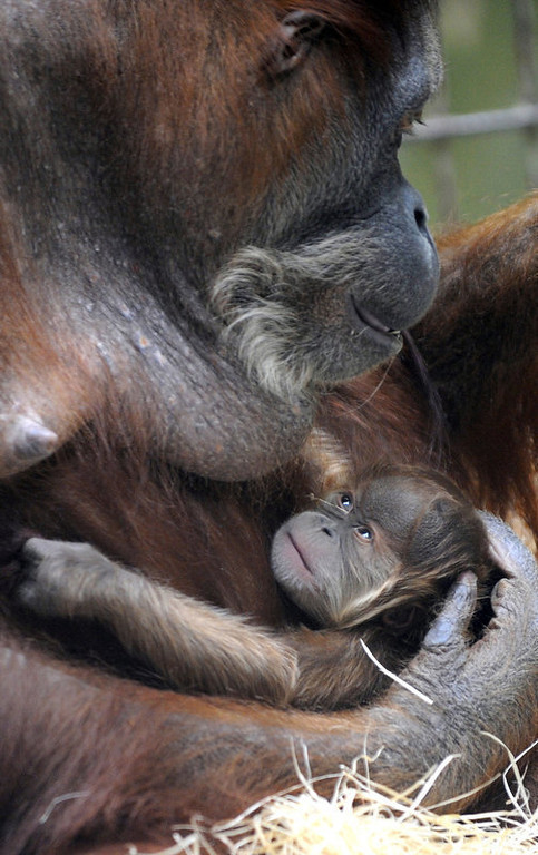 . Orangutan baby Duran lies in the arms of its mother Djudi at the zoo in Dresden, eastern Germany. Duran was the fifth baby of the 36-year-old orangutan mother Djudi. (NORBERT MILLAUER/AFP/Getty Images)