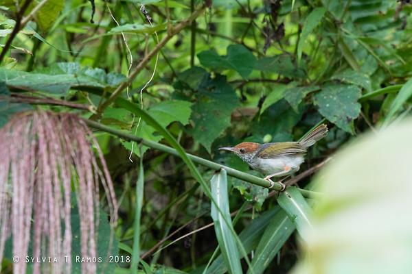 Grey-Backed Tailorbird