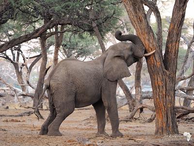Bull elephant in Hwange
