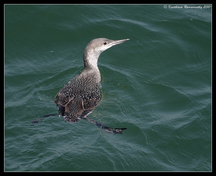 Red-throated Loon, Imperial Beach Pier, San Diego County, California, April 2010