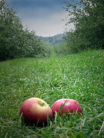 Apple Picking 06