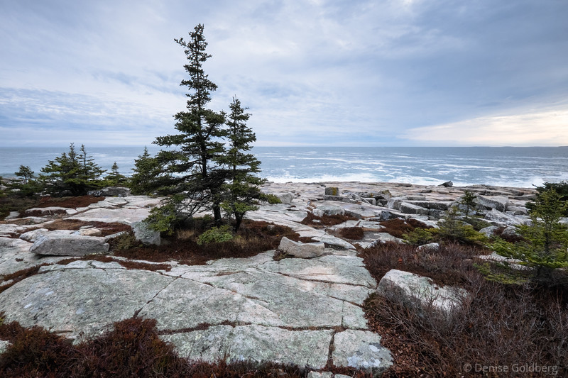 a tree stands on the tip of the Schoodic Peninsula