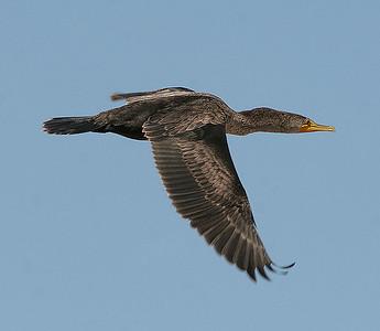 Doublecrested Cormorant