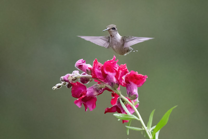 #1757 Ruby-throated Hummingbird