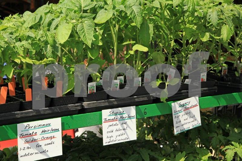 Tomatoe starts 5912.jpg