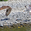 Osprey drops salmon, gull eagerly behind