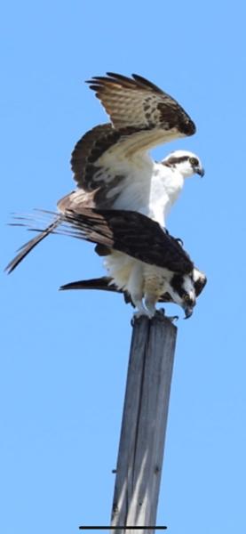 Osprey. / Dunedin FL