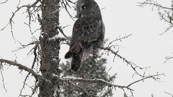 Video - Great Gray Owl - Snow Storm