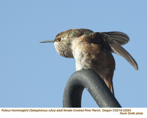 Rufous Hummingbird F33254.jpg