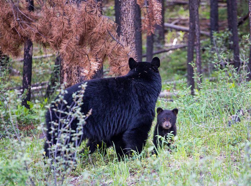 Black Bear and Cubs 2 Wabasso Road June 2019.jpg