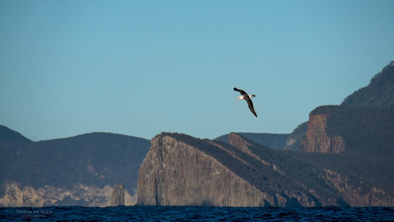Shy Albatross, Eaglehawk Neck Pelagic, TAS, May 2016-9.jpg