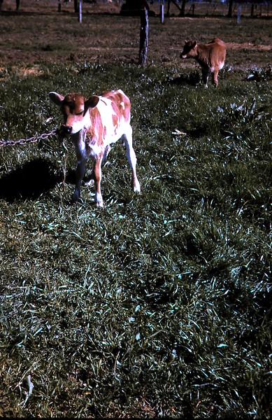 1960-8 (4) Calf @ Tongala.JPG