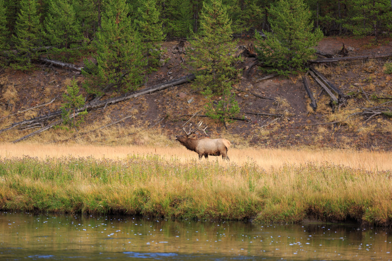 20160918- Elk Rutting along the Madison River 005.jpg