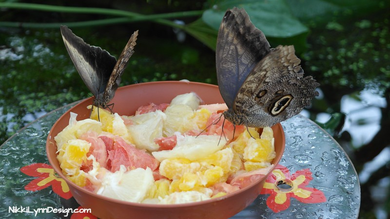 Owl Butterflies eating oranges, banana and watermelon.