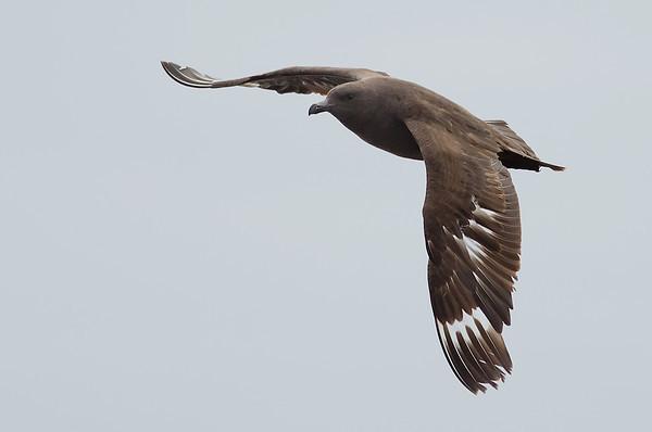 Gulls, Skuas, Terns, Alcids