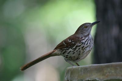 Mockingbirds, Catbirds, Thrashers, and Pipets