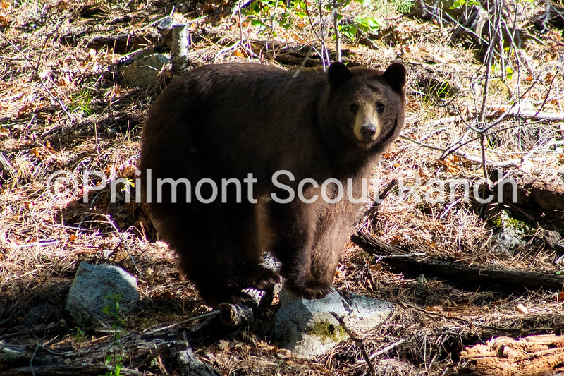 A bear perches on a rock near Lover's Leap on Monday, May 24, 2021.