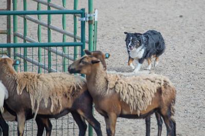 Sheep 3 - Advanced