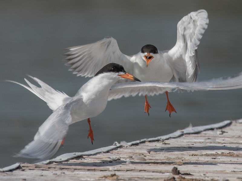 Forster's Tern grown chick chasing an adult.