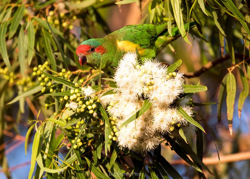 Cronulla parrots 7.jpg