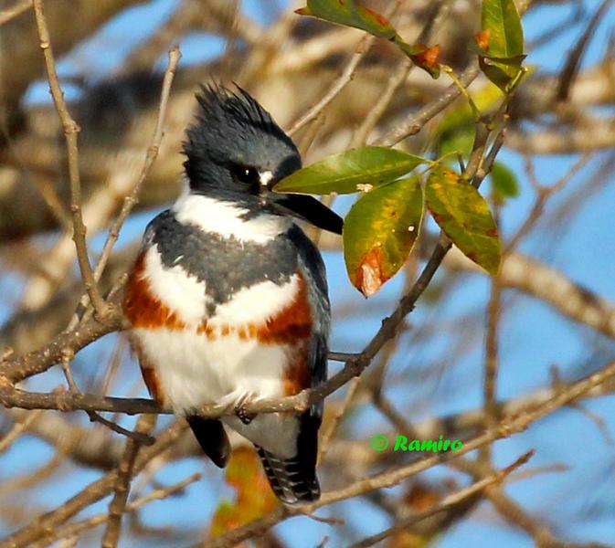 Kingfisher IMG_0553.jpg