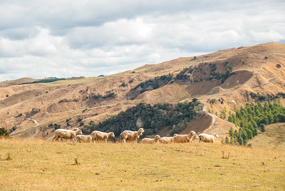 Grazing Sheep on New Zealands North Island