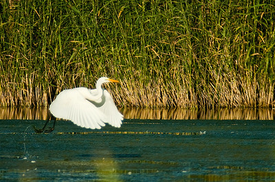 Great White Egret - Jalohaikara