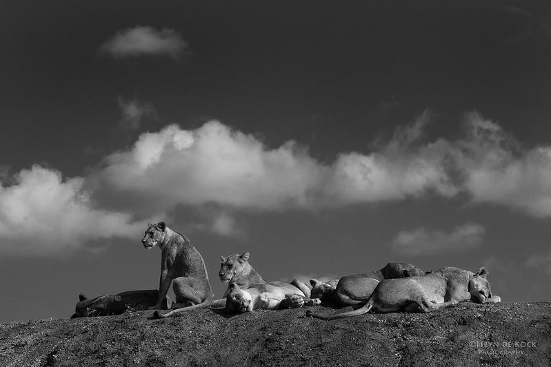 African Lion, Phinda, KZN, SA, Oct 2016-1.jpg