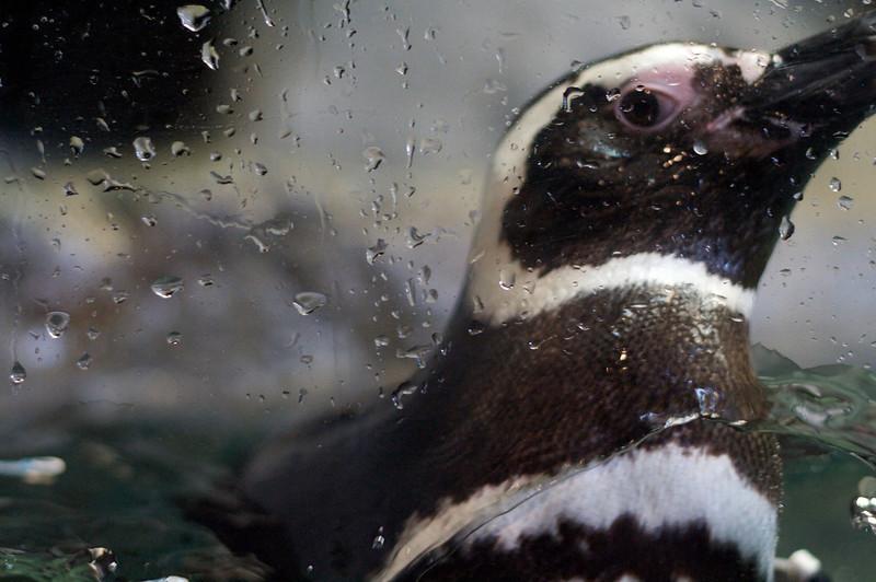 Splashing Penguin at the SC Aquarium