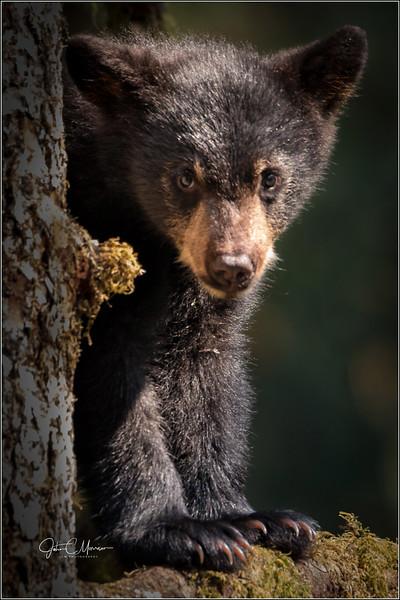 J85_6281 cub in tree L W.jpg