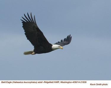 Bald Eagle A21809.jpg