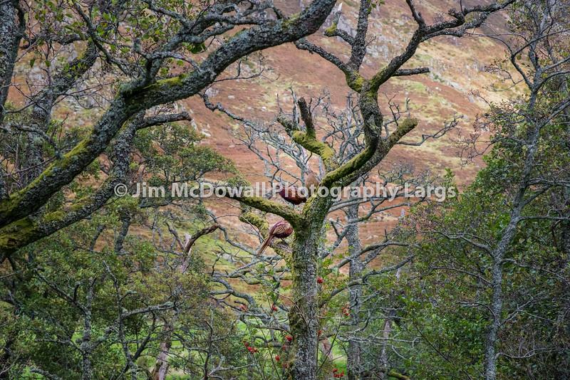 Scottish Grouse.