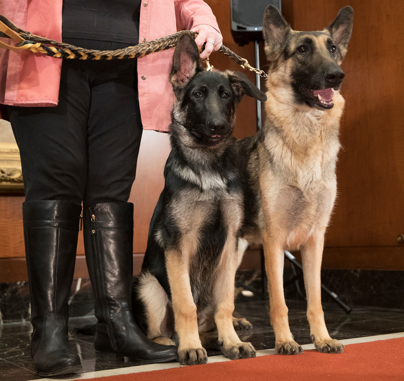 . German shepherds Hunter, 5-months, left and Flirt, 4, pose for photographers during a news conference at the American Kennel Club headquarter, Wednesday, March 28, 2018, in New York. American Kennel Club rankings released in 2018 show German shepherds are the second most popular purebred dog. (AP Photo/Mary Altaffer)