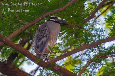 Yellow-crowned Night-Heron (Nyctanassa violacea)