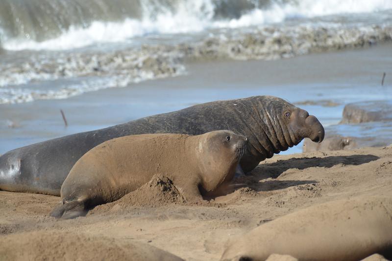 ano-nuevo-elephant-seals-2013 48.jpg
