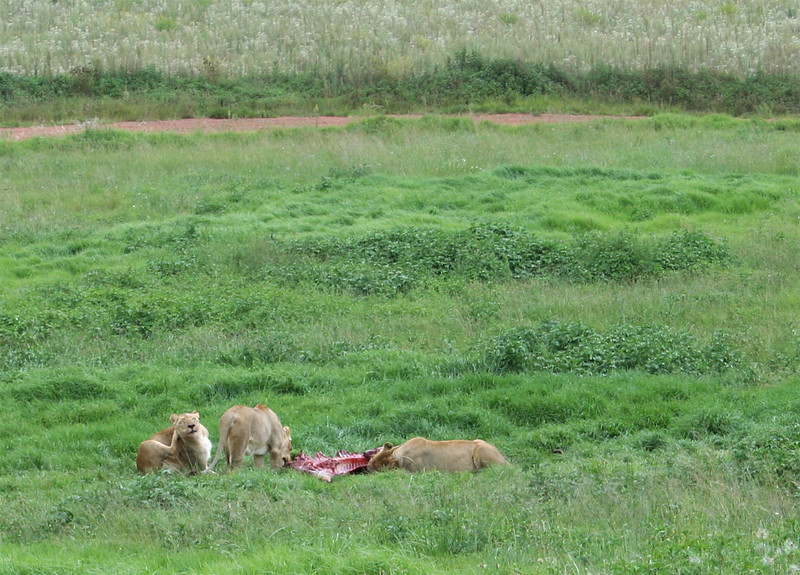 "lions feeding.  ""rhino and lion park"", johannesburg"