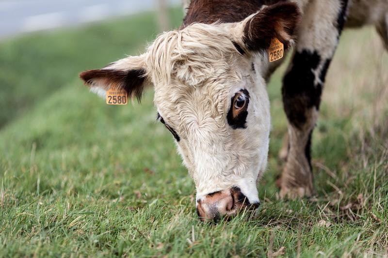 vache (18 sur 21).jpg