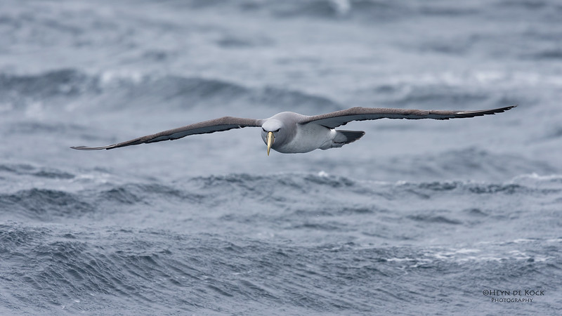 Salvin's Albatross, Eaglehawk Neck Pelagic, TAS, Sept 2016-6.jpg