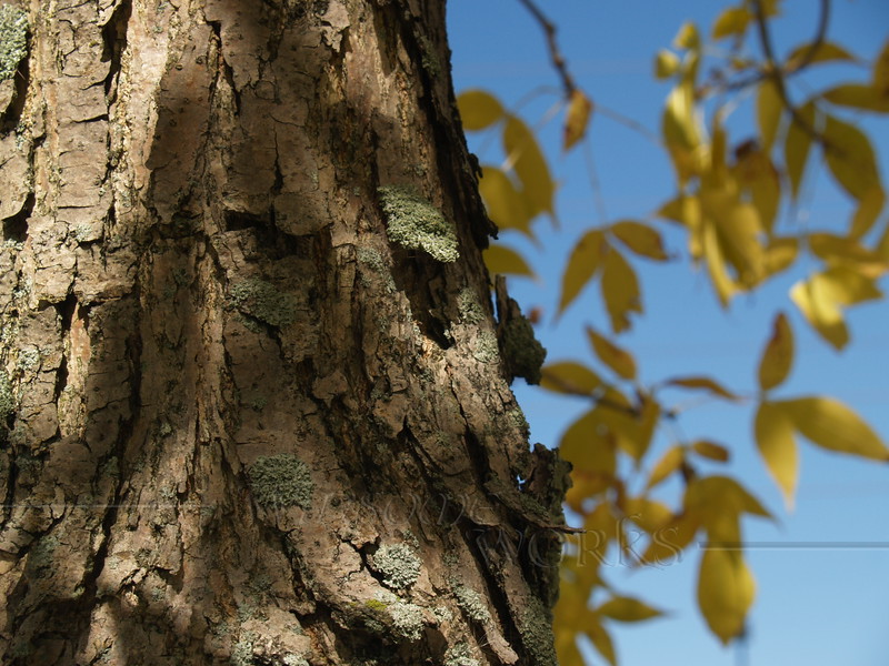 Shagbark Hickory in September, Quakertown, PA