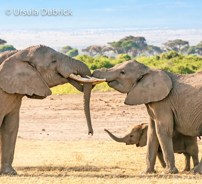 Family Greeting - Elephants, Kenya