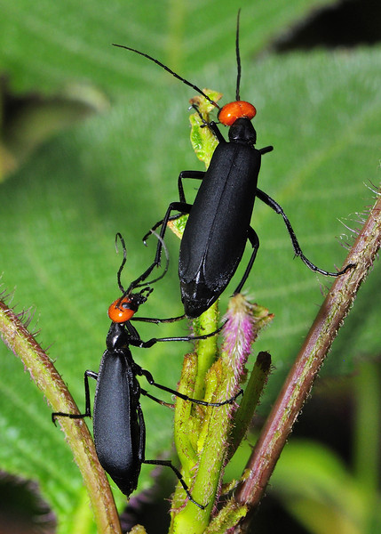 Black-Beetles-Mates-Pursuit-02.jpg