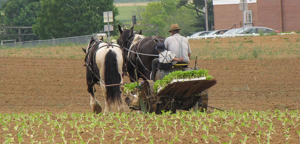Old Order Tobacco Planting
