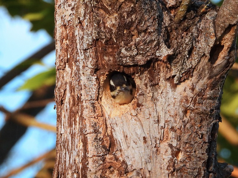 Hairy Woodpecker - nestling  (Photo by Don McLeod)